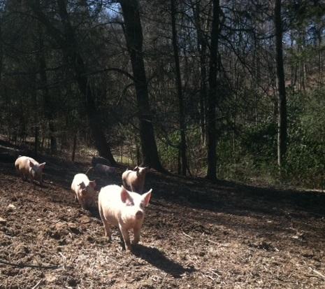 hickory pigs