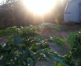 garden tomato starters