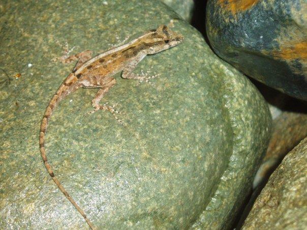 anolis lizard virgin islands