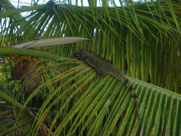 iguana virgin islands