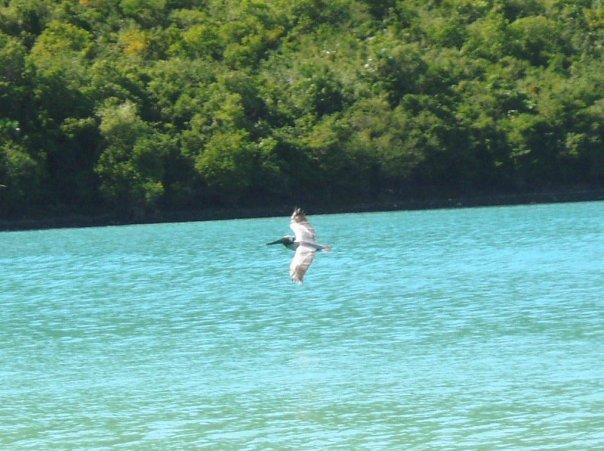pelican virgin islands ca