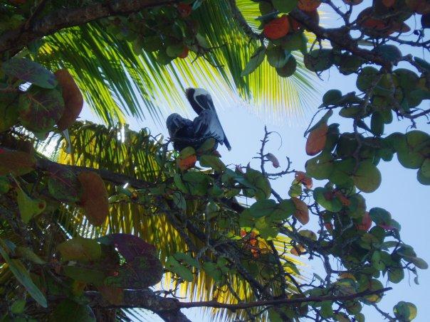 pelican virgin islands